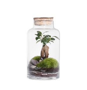 Terrarium Ficus Microcarpa - Small