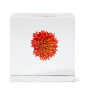 Cube Sola Amarantoïde
